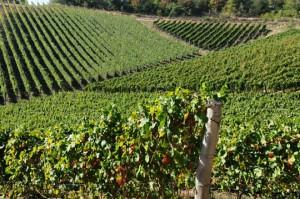 Vinograd mahovljani