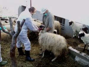 Otkrivena-bruceloza-kod-veceg-broja-krava-i-ovaca-na-farmi-u-okolici-Sarajeva
