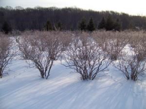 plantaza zimi
