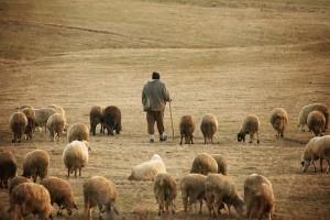 pastir-čuva-ovce