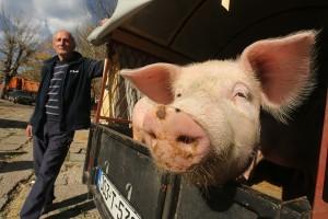 stoka-pijaca-svinje-foto-S-PASALIC-