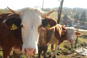 krave-stoka-02-foto-S-PASALIC